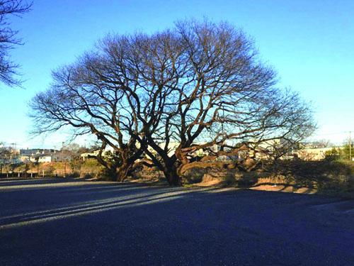 一つの木にも見える2本の大木