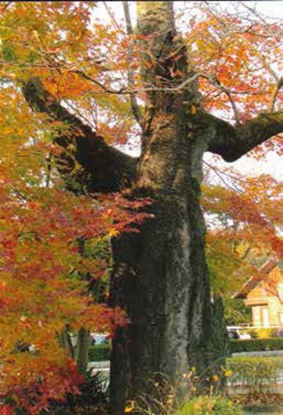 冬枯れの桜の木ともみじの紅葉