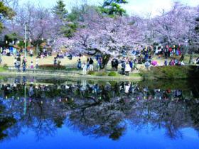 城址公園の桜