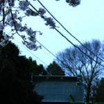 浄国寺の桜