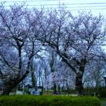 こばと児童公園の桜