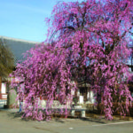 浄源寺の枝垂れ桜