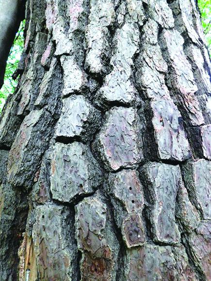 クロマツの樹皮