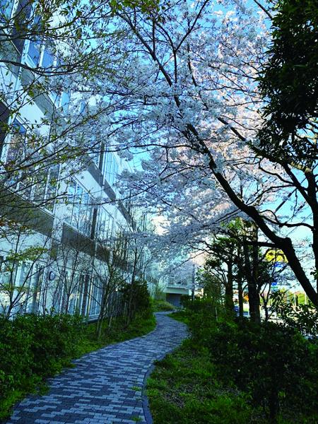 本学中庭の桜の小道